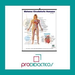 Lámina Sistema Circulatorio