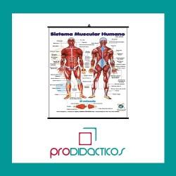Lámina Sistema Muscular Humano
