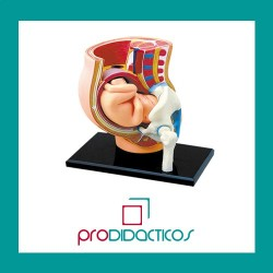 Modelo  Anatómico Embarazo